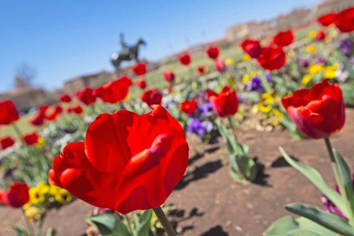Texas Tech Tulips