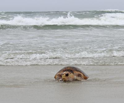 Sea turtlle