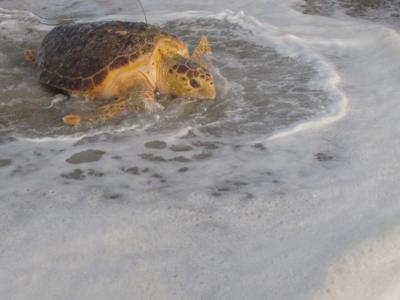 Rescued Turtles Released