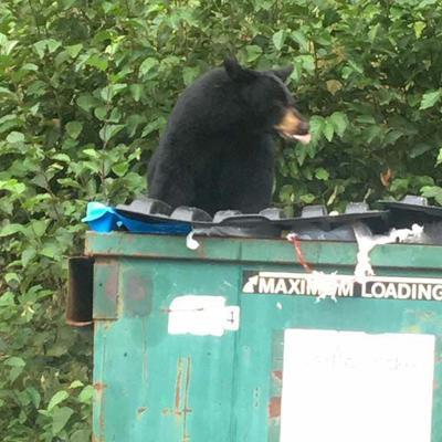 Bear on Dumpster
