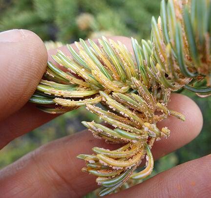 Spruce neeedle rust fungus