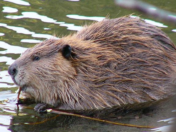 Beaver by Frank Zmuda