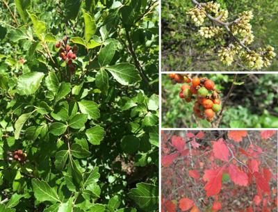 Native Roots: Fragrant sumac is shrub that produces fall color