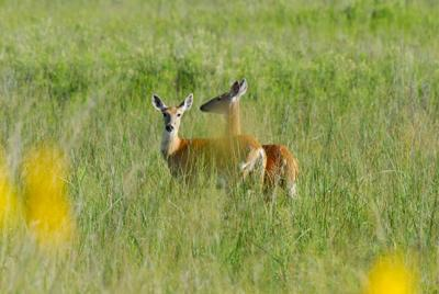 Ray Sasser: Harvest now to protect deer population