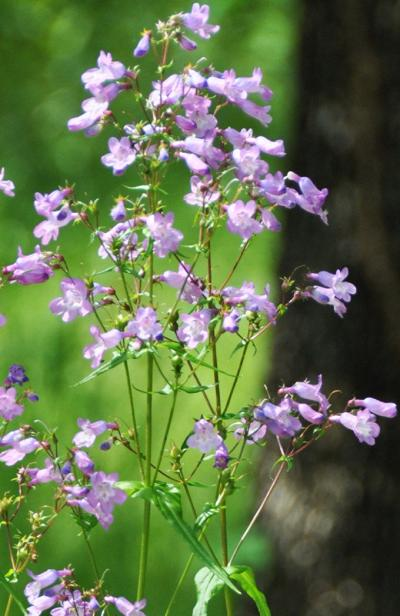 Native Roots: Gulf Coast penstemon, a spring flowering perennial with lavender blossoms