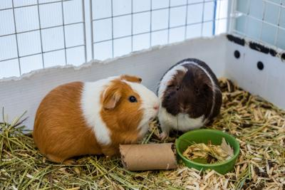 A chorus of squeaks, squeals with the 'guinea pig girl'