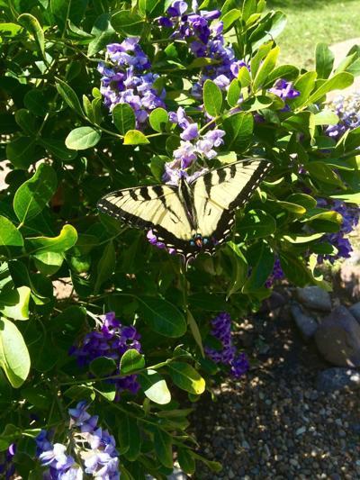 Easter Tiger Swallowtail on Texas Mountain Laurel