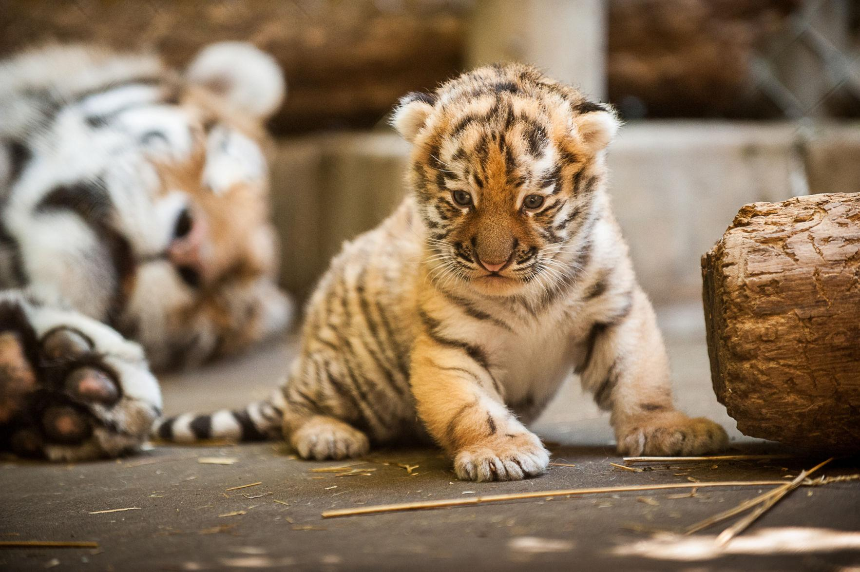 Pittsburgh Zoo Tiger Cub