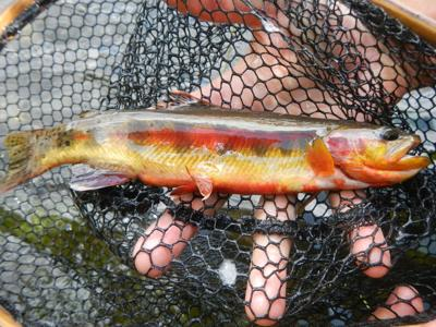 Golden trout in net.JPG