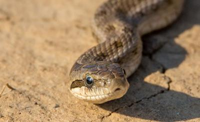 Nearly 100 rattlesnakes removed from underneath California home