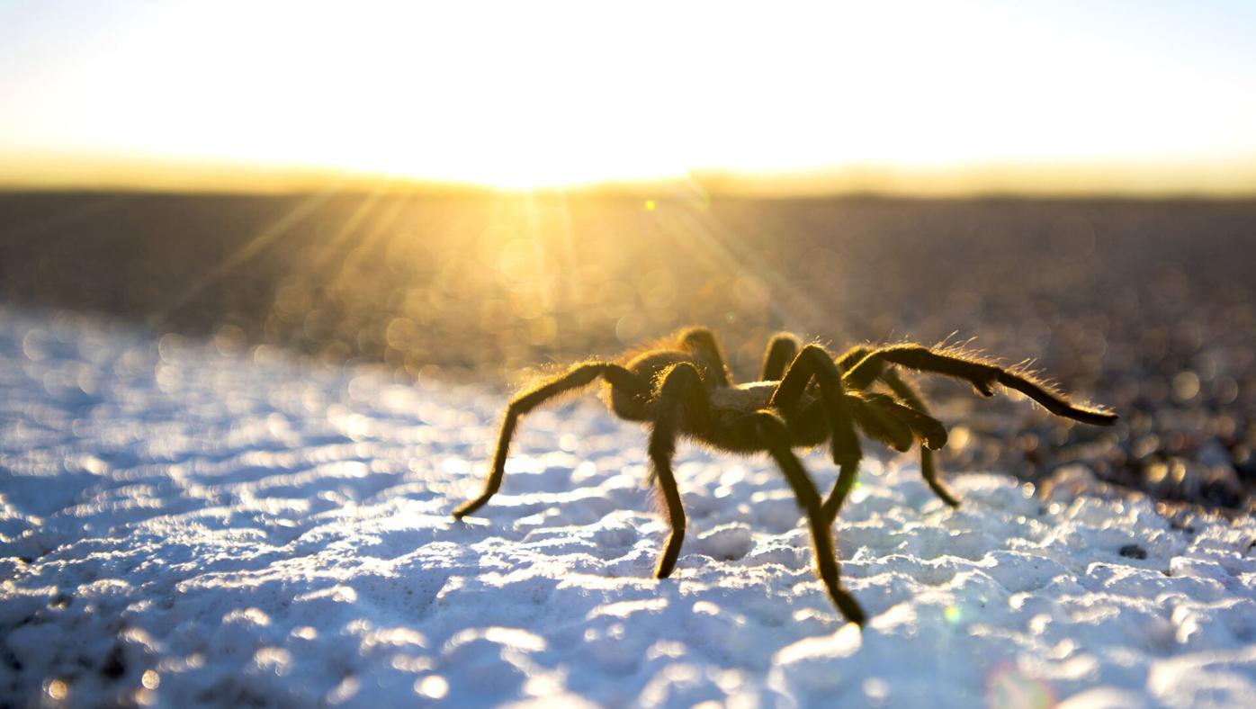 092721-ot-tarantulas 1.jpg