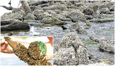 Zebra mussels a threat to Kansas waters