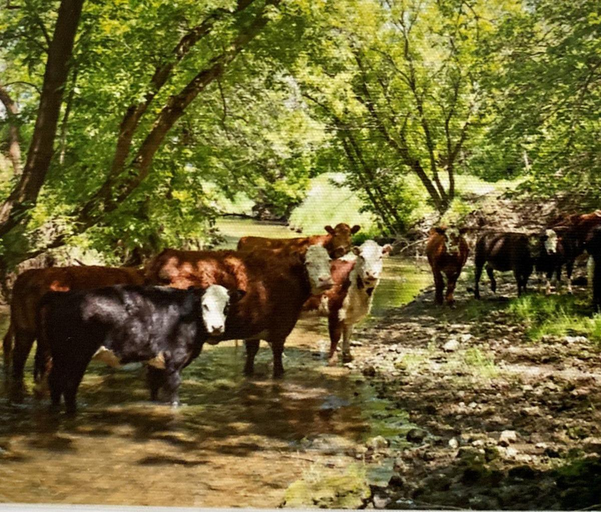 Dale Kilburg's cows