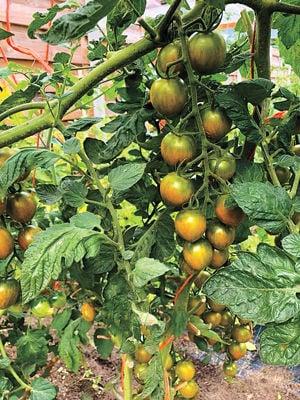 Terrific Tomato: Sunol Farming