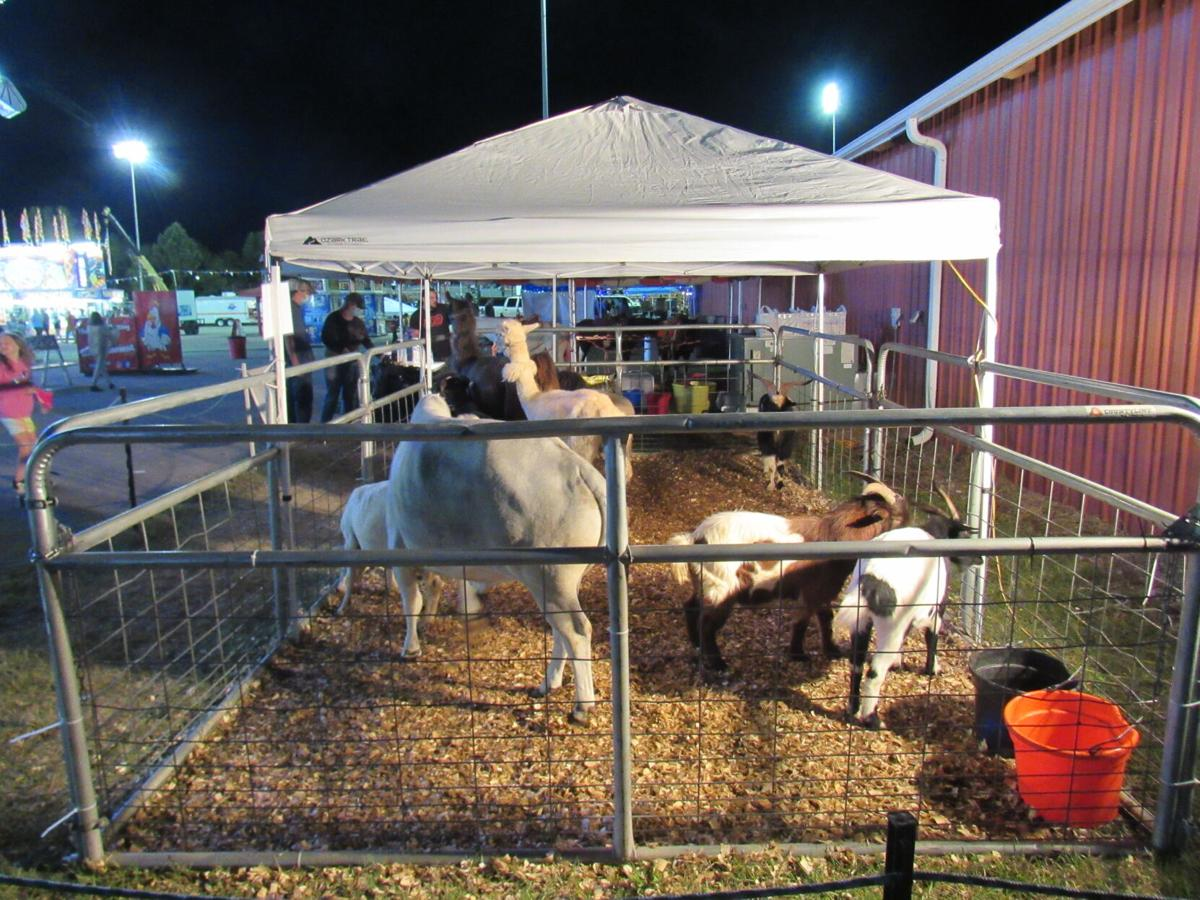 Llamas and goats available for fairgoers to feed. SHARON ALICE LURIE