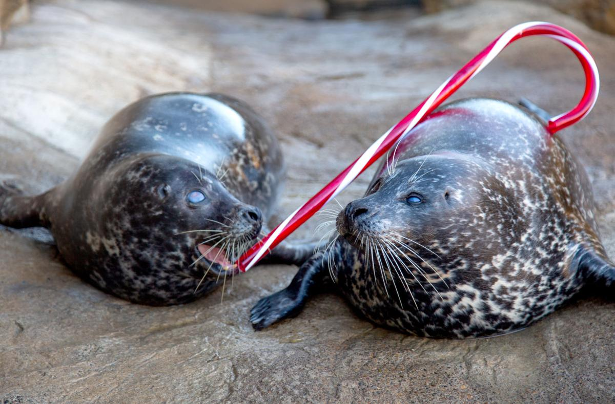 191206_oct_seals with candy cane.jpg