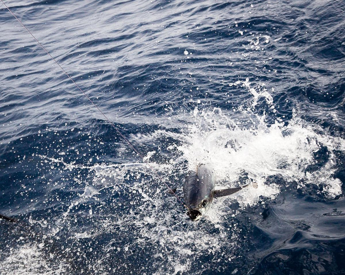 Albacore put up a lively fight (copy)
