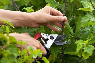 Master Gardeners pruning