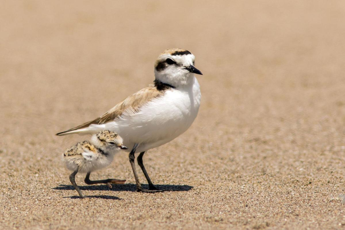 Volunteers key to conserving coastal bird populations