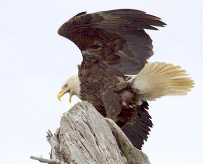 bald eagle (copy)