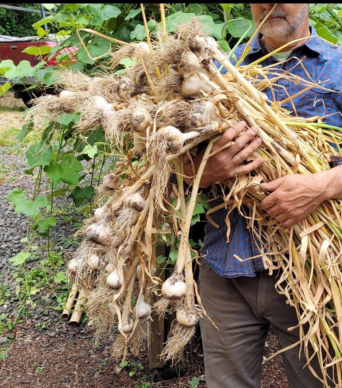 Large bunch of garlic