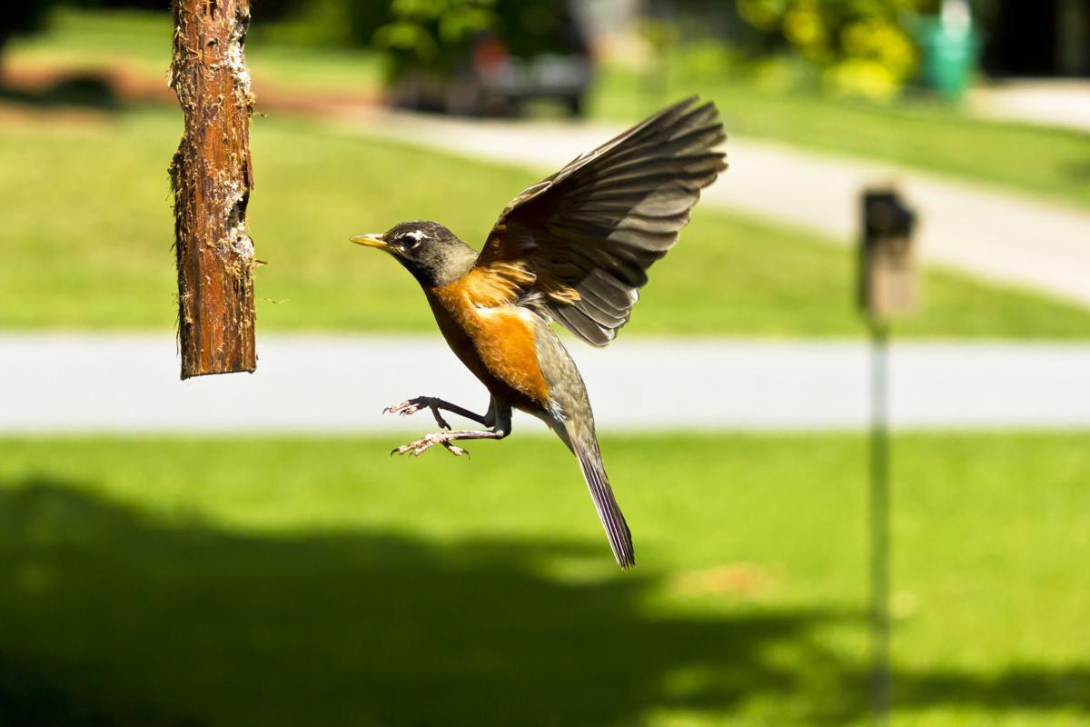 Wild Side American robin (high quality)