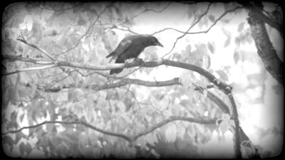 """""""Roost: The Crows of Downtown Portland"""""""