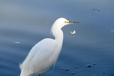 Egrets? They've had a few.