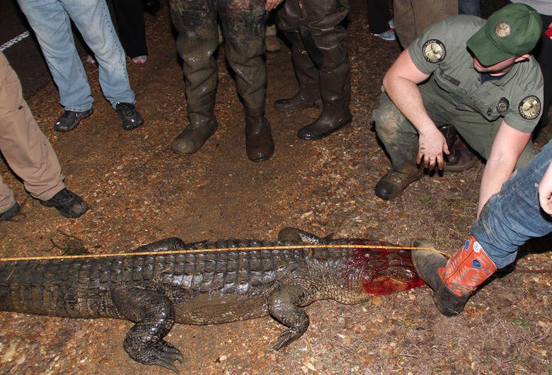 300 Pound Alligator Killed In Chickasaw County News