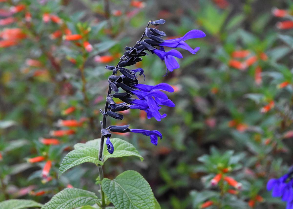 Gary Bachman Choose Annual Perennial Salvias For Summer Beauty