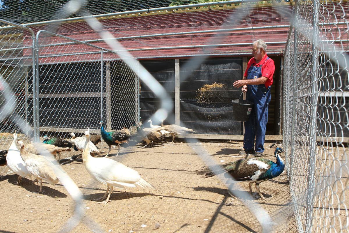 djr-2019-08-11-liv-peacocks-twp1
