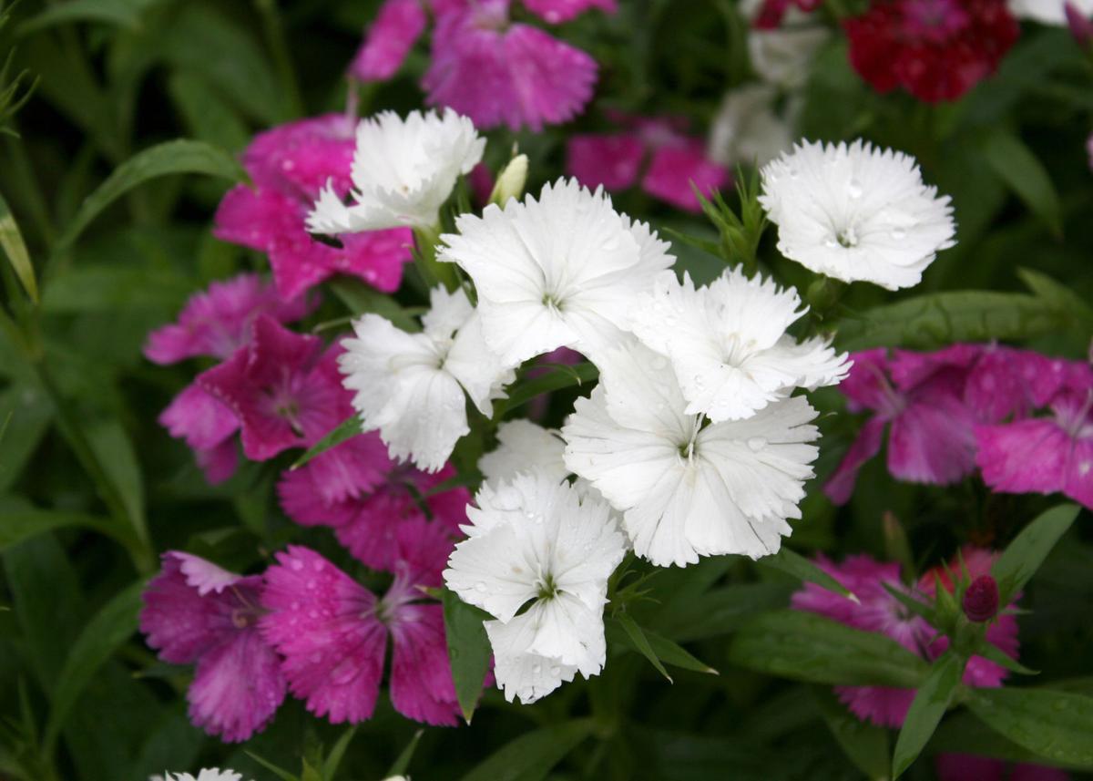 southern gardening choose telstar dianthus for winter spring