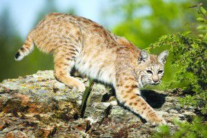 EARTH LADY: Bobcats play important role in the balance of nature