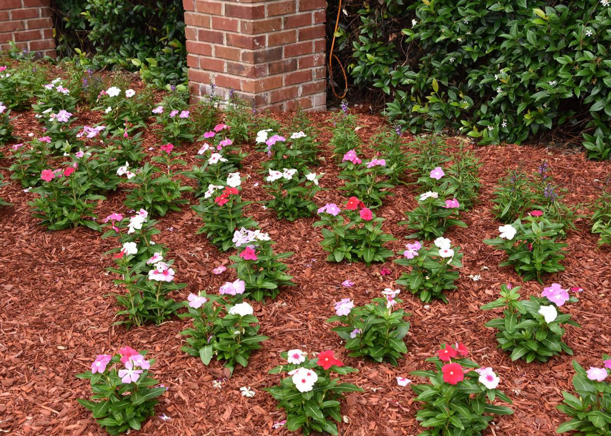 Gary Bachman Annual Flowering Vinca Shine In Warm Weather