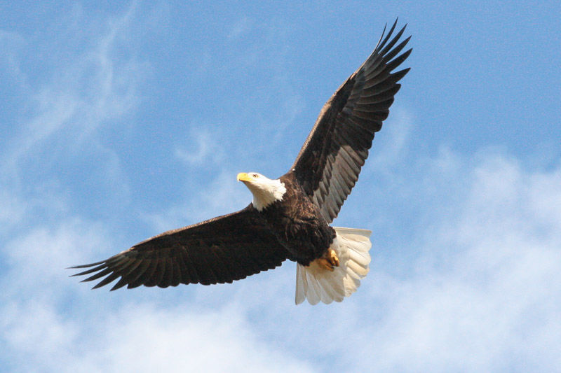 The Bald Eagle Is A Majestic Bird Pontotoc Djournal