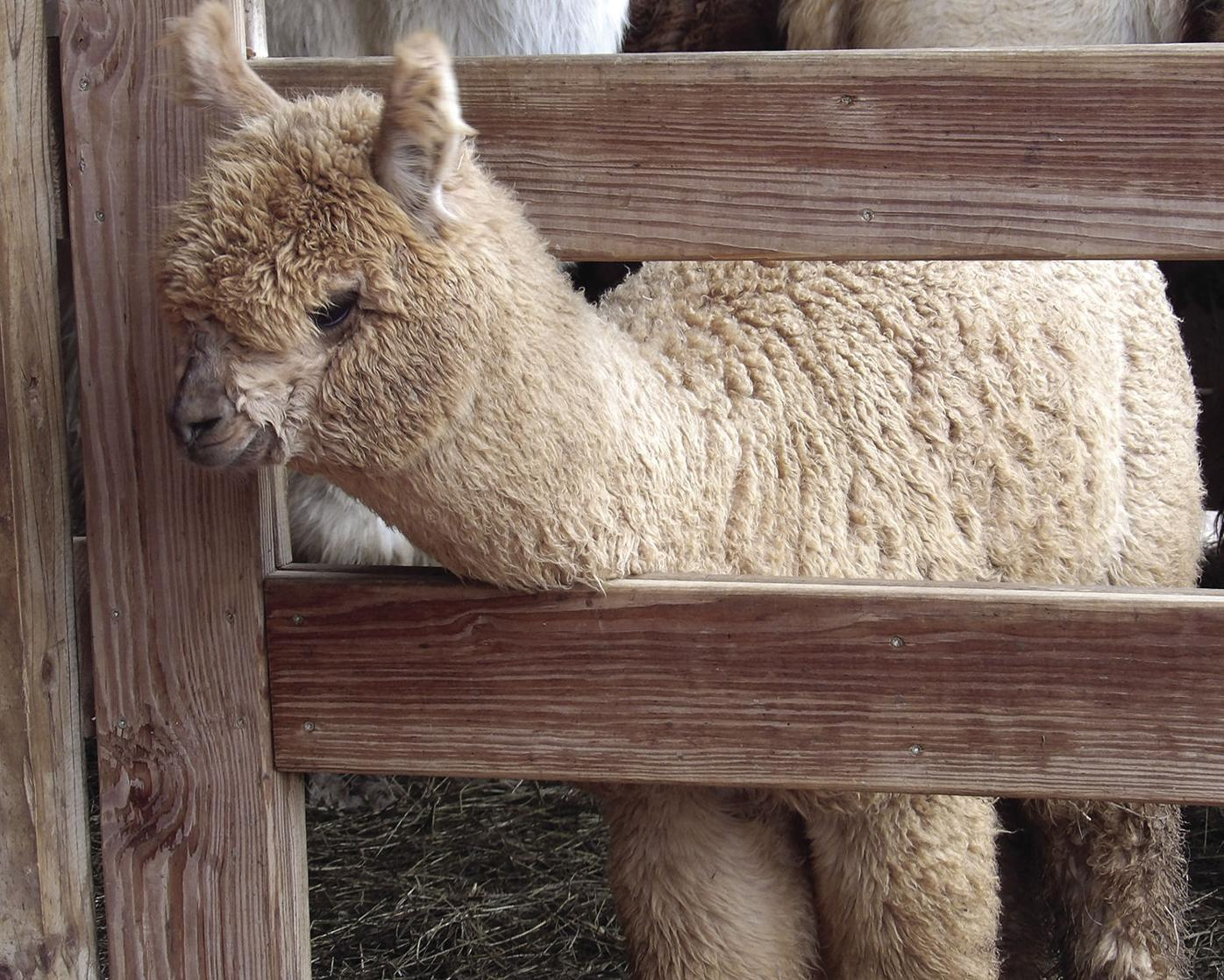 alpaca-before.jpg