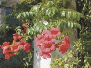 MASTER GARDENER: Vines and climbers add beauty to garden