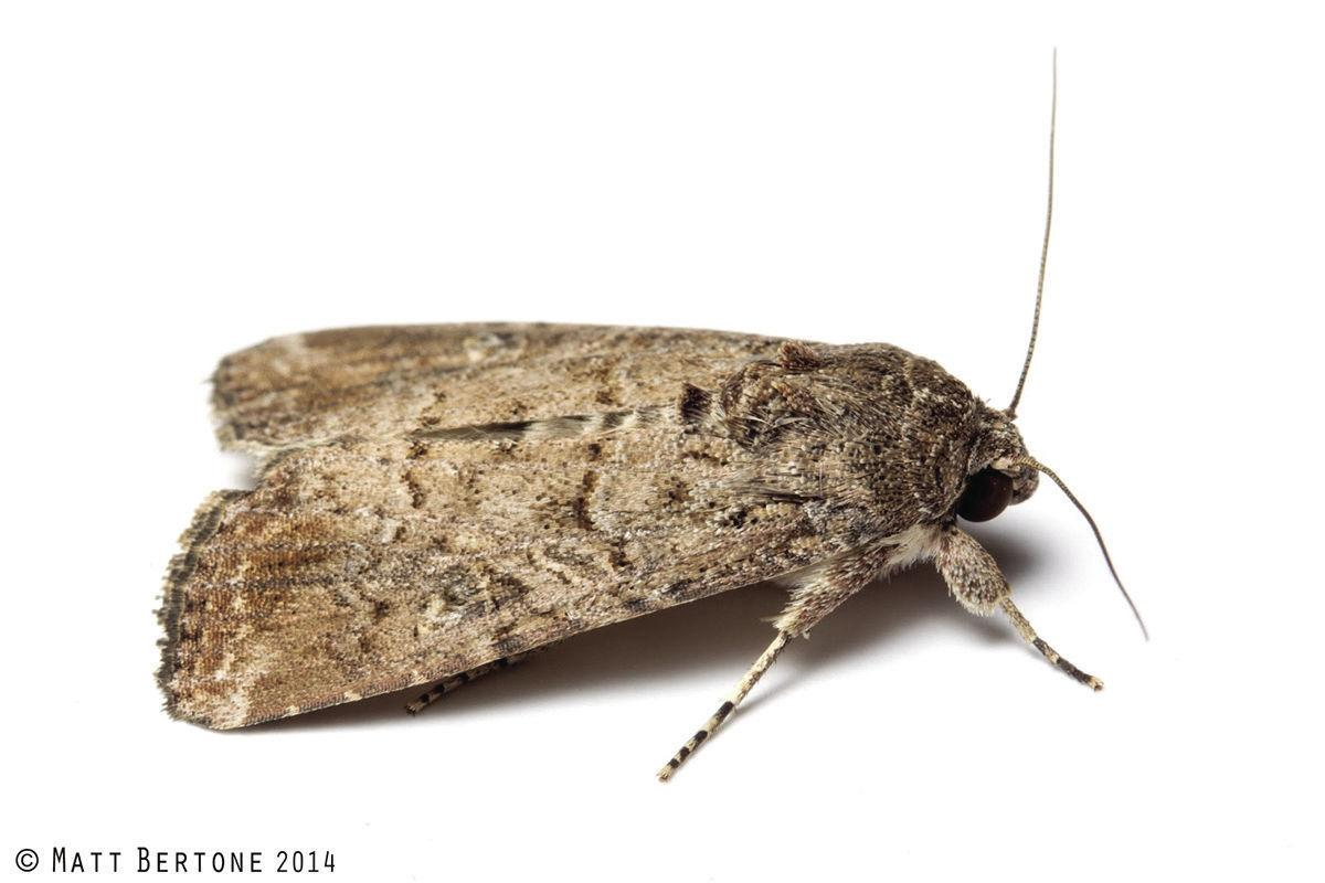 adult moth of fall army worm
