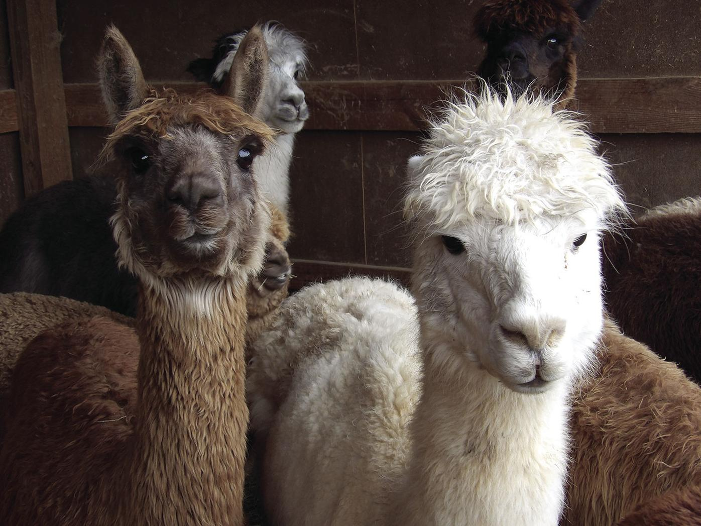 alpacas-group.jpg