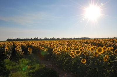 Dove field sunflowers