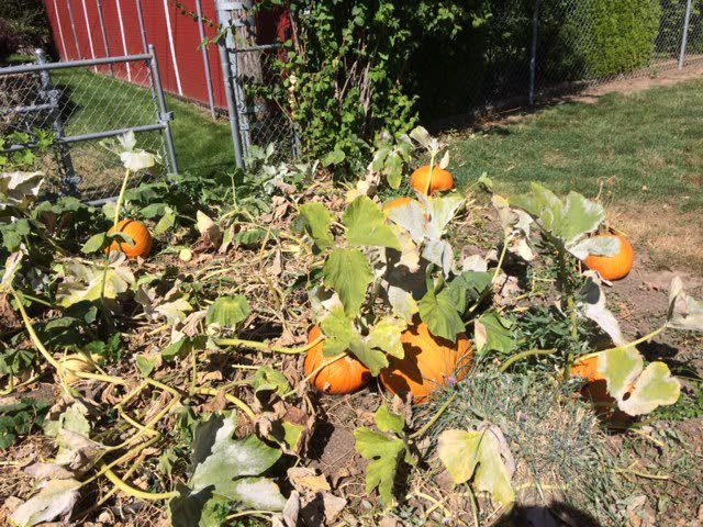 Dealing with too many pumpkins in the garden