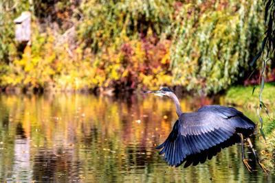 Sunnyside heron
