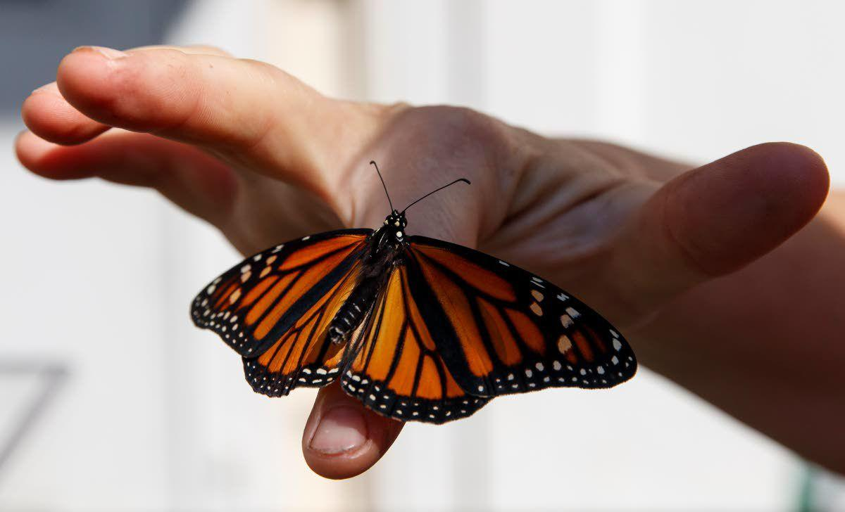 Plight of the monarchs: Trump order weakens protections