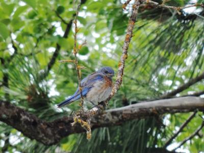Wildlife managers: Salmonella outbreak threatening region's songbirds continues