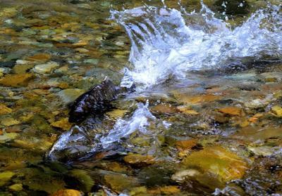 Salmon working group set to meet in Lewiston