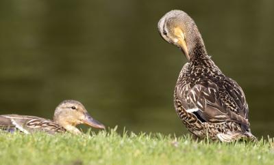 Photo: Derpy duck
