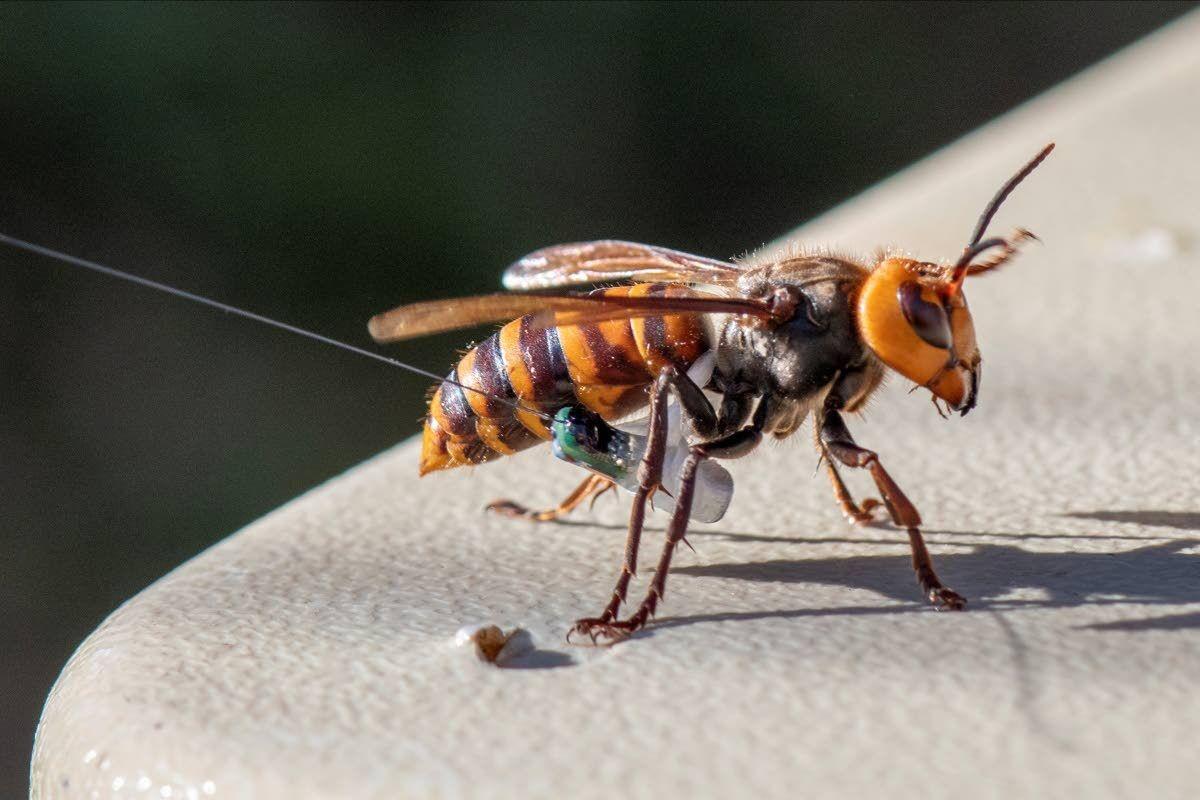 Washington discovers first 'murder hornet' nest in U.S.