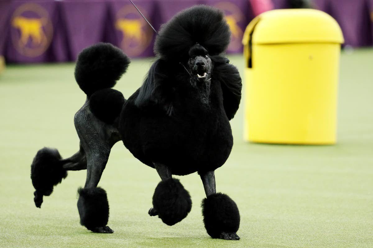 Poodle wins best in show at Westminster