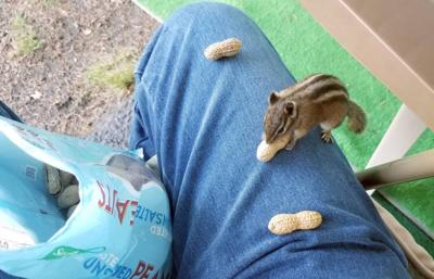 Chipmunk likes peanuts