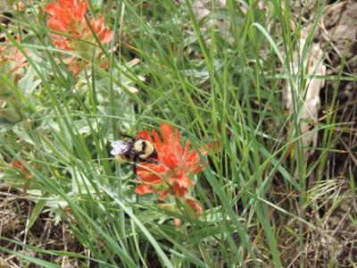 Bee meets wildflower